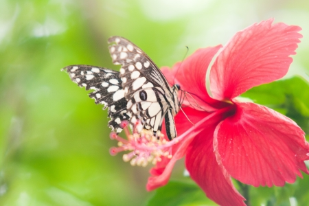 Butterfly on Chinese rose Stock Photo