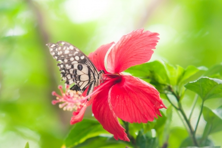 Butterfly on Chinese rose photo