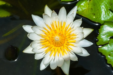waterlilly: a shot of a beautiful waterlilly on a lake