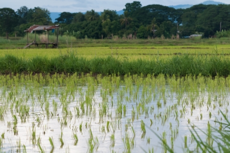 rice fields: rice seeding on rice fields, THAILAND