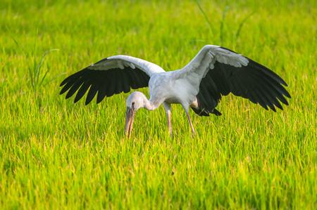 chilika: Asian openbill on ricefields