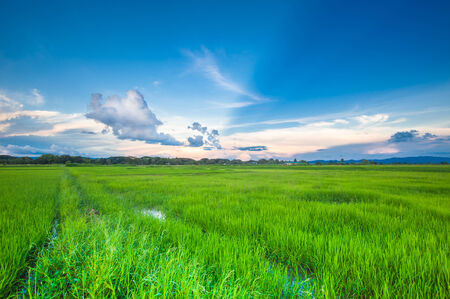 rice field with sun blast photo
