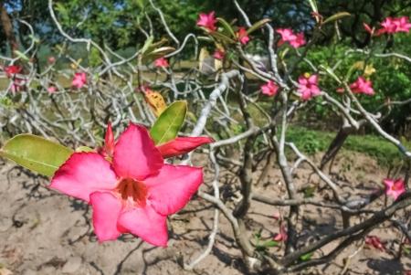 Pink adenium flower Stock Photo - 25168263