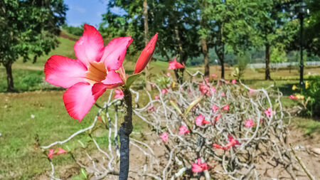 Pink adenium flower Stock Photo - 25168400
