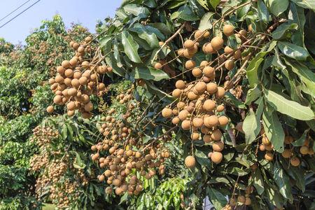 Tasty longan fruit hanging on tree photo