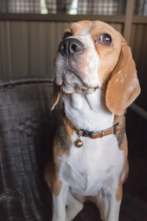 young beagle dog on chair photo