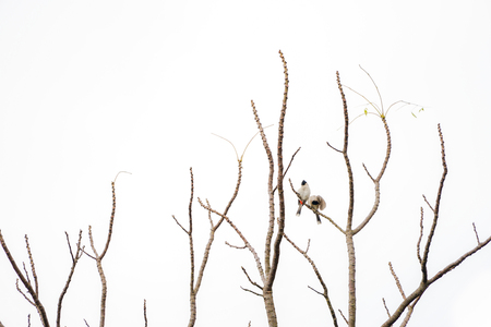 2 birds hang on to branch of tree that no leaf. White background. Banco de Imagens - 122106370