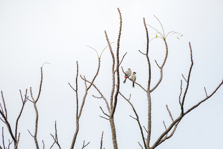 2 birds hang on to branch of tree that no leaf. White background. Banco de Imagens - 122106375