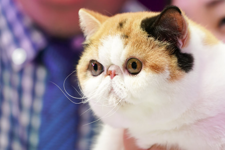 the Big eyes pretty short nose Persian cat with 3 colors black white orange. Stock fotó