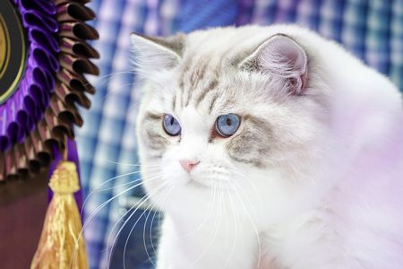 Smart white cat with tiger line pattern no it's face and the blue eyes of it.