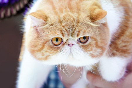Close up the short Persian cat face short nose and  brown orange hair with the tiger pattern on it.