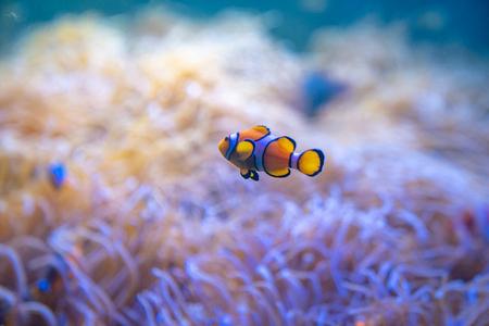 Clown or Anemone Fish swim around Sea Anemones in the sea. 写真素材
