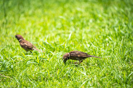 Thailand little brown sparrow bird in the graden and park.