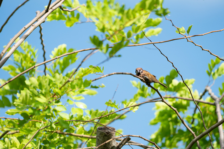 One wet brown sparrow bird hang on to the little branch with blur sky background.