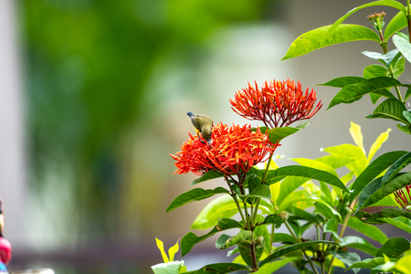 the little tiny bird is standing and eating carpel of red spike flower. Stock Photo