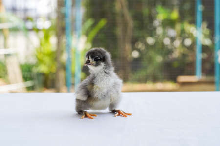 Black Baby Australorp Chick sit on white cloth cover the table with bokeh and blur garden at an outdoor field Stockfoto
