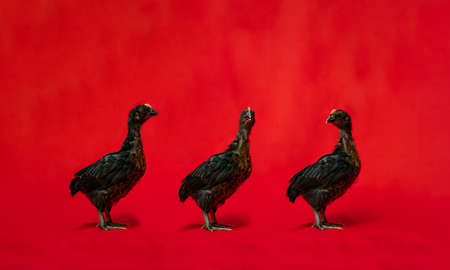 5 SeBright Chicken Team stands in the row in front of the red cloth background.