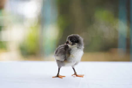Black Baby Australorp Chick stands on white cloth cover the table with bokeh and blur garden at an outdoor field