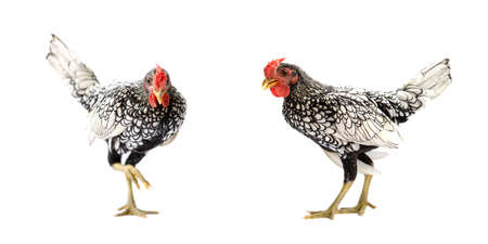 Two isolated SeBright Chicken on the white background in studiolight