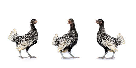 isolated 3 White SeBright Chicken in the row on the white background in studiolight