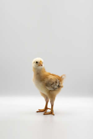 Isolated Little Rhode Island Red baby chicken team stand in a row on solid white clear background in studio light. 免版税图像