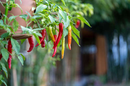 Chili Tree decoration in the beautiful gaden at noon.