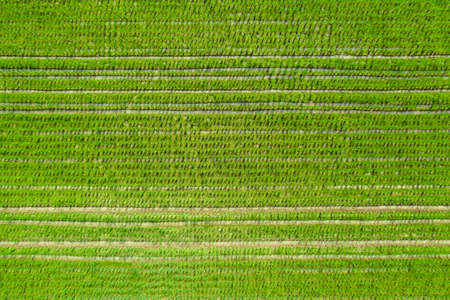 the Drone view of beautiful Green paddy rice field for background.