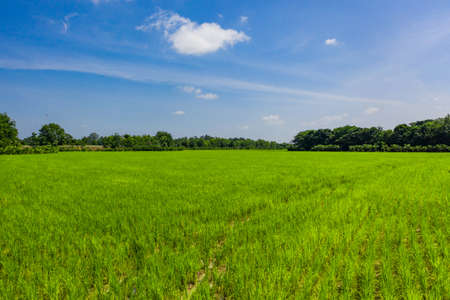 Beautiful Green paddy rice field in the open blue sky. 版權商用圖片