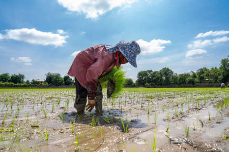 Asian farmer is transplant rice seedlings in paddy rice field with tired exhaustion.