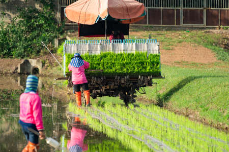 Professional local Asian farmer and agriculture vehicle machine transplant rice seedling in a paddy field in the open sky day.