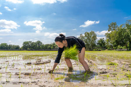 Amateur Asian man tests and tries to transplant rice seedlings in paddy rice field in the open sky day. 版權商用圖片