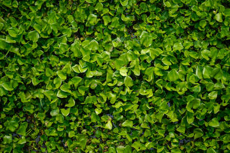 The Water Hyacinth is covering all the river and obstructing water flow. That is the one of water pollution.