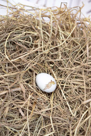 The Leghorn chick newborn was hatched from an egg in the nest.