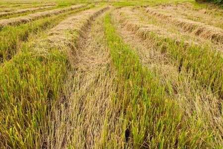 Asia paddy field  Stock Photo
