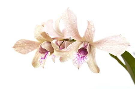 orchids flower on white background Stock Photo