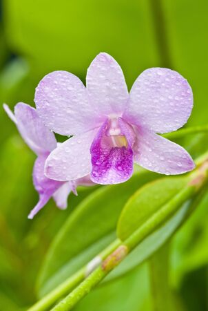 violate: close up  violate orchid with dew Stock Photo