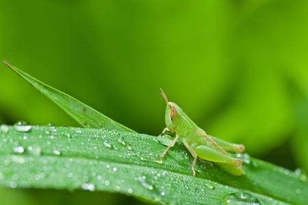 closeup a grass hopper on green leaf Stock Photo