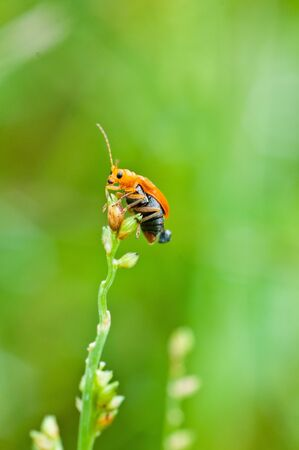 bombardier: bombardier beetle close up , thailand Stock Photo