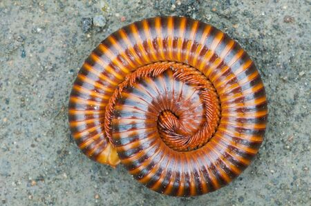 tropical millipede  on ground close up Stock Photo