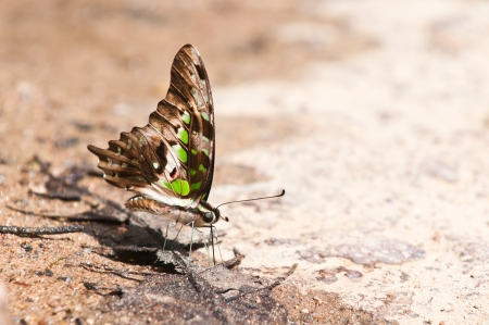 tailed jay butterfly close up photo