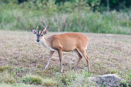 barking deer in a field of grass Stock Photo
