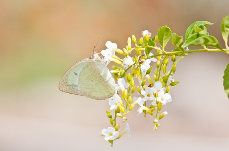 emigrant: Lemon Emigrant butterfly close up Stock Photo