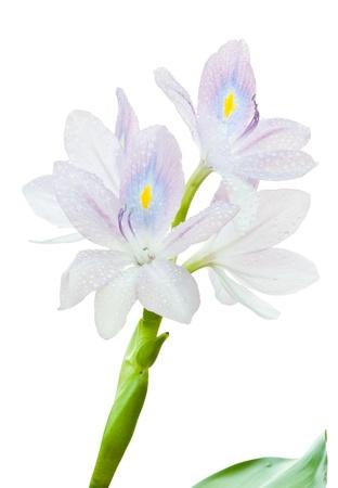 water hyacinth: water hyacinth close up on white background