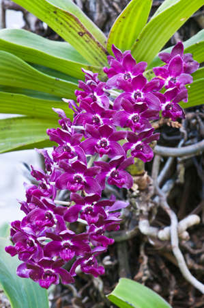 purple orchid: purple orchid on nature background Stock Photo