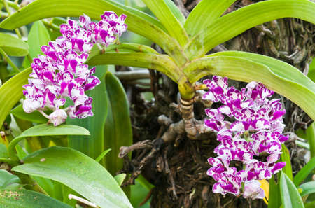 purple and white orchid on nature background photo