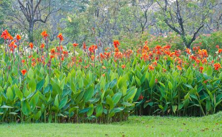 red canna flower in garden