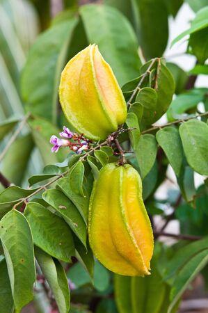 Carambole o stella frutta ancora su albero Archivio Fotografico