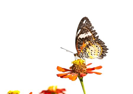 lacewing: leopard lacewing butterfly close up