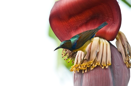 brown throated: Bird  Brown-throated Sunbird  on the banana flower