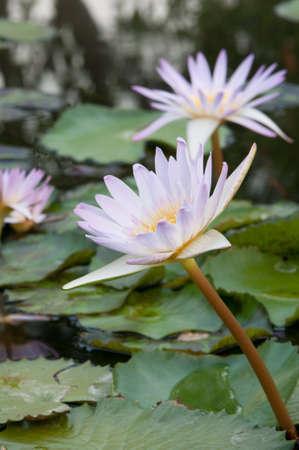 pink lotus on nature background Stock Photo
